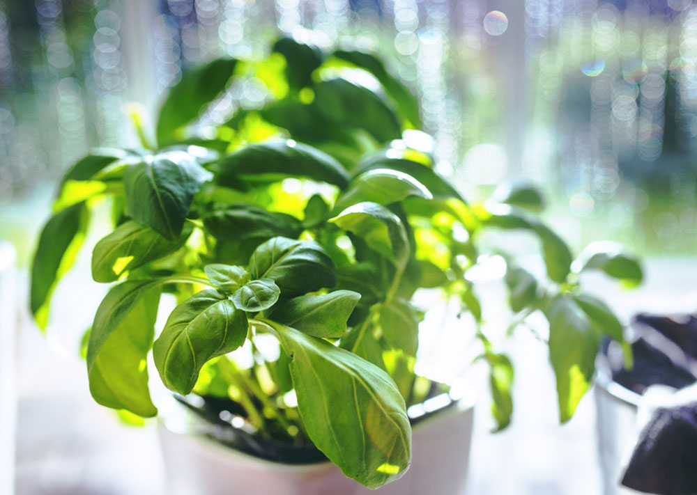 home remedies for yellow indian basil why my teeth are yellow